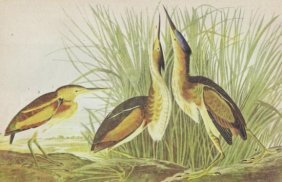 John James Audubon Circa 1946 LEAST BITTERN MATTED PRI