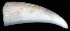 Small Unworked Whale Tooth