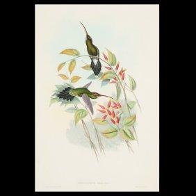 Gould & Richter Hummingbird Litho