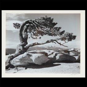 "Ansel Adams ""jeffery Pine"" Gelatin Silver Print."