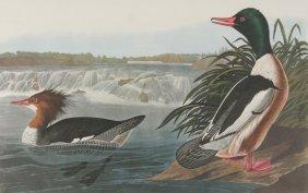 After John James Audubon (1785-1851) Goosander, 19