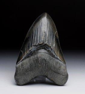 Large Savannah River Megalodon Shark Tooth