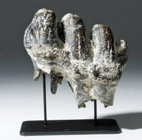 Very Fine Prehistoric Ice Age Mastodon Tooth