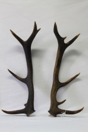 Large Pair Of Stag Horn Antlers,