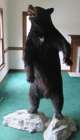 Taxidermy Standing Mount Canadian Dark Brown Bear: