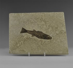 Natural History - Knightia Fossil Fish