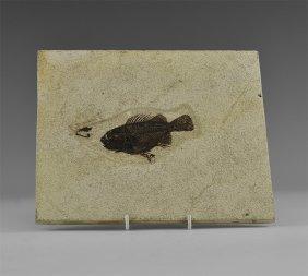 Natural History - Priscacara Fossil Fish