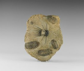 Natural History - Fossil Trilobite Display Plate