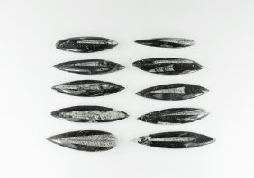 Natural History - Polished Orthoceras Fossil Group