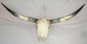 Steer Skull W/ Horns