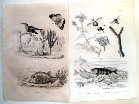 Lot Of 2 Botanical & Zoological Engravings 1835