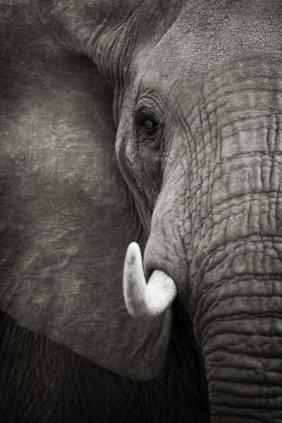 """ANDY BIGGS  """"ELEPHANT PORTRAIT"""""""