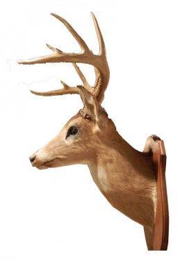 Ten Symmetrical Points Vintage White Tail Deer Sho