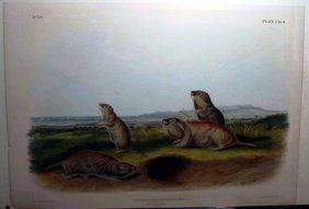 Audubon, ''Pseudostoma Borealis... Camas Rat.''