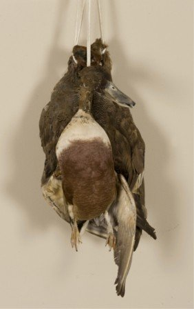 Group Of 3 Taxidermy Ducks.