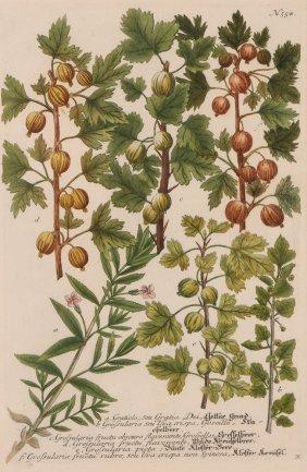 Johann Wilhelm Weinmann Botanical Engraving