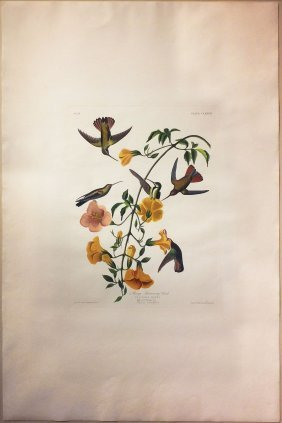 Audubon Aquatint By Havell, Mango Hummingbird