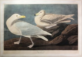 Audubon Aquatint By Havell, Burgomaster Gull