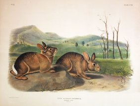 Audubon Lithographs, Imperial Folio, Bachman's Hare