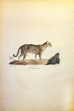 Hand-colored Cuvier Lithograph