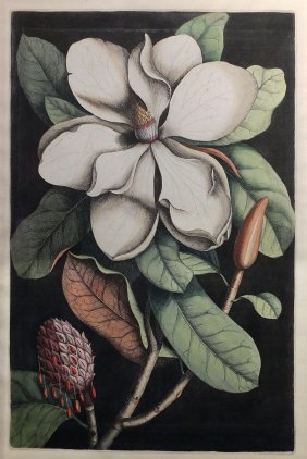 Catesby Magnolia First Edition Engraving