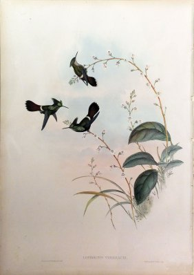Gould Hummingbird Hand-colored Lithograph