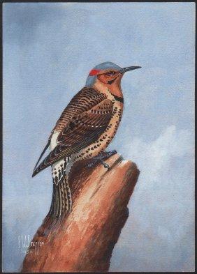 Steffen Watercolor Of Northern Flicker