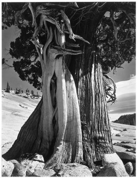Edward Weston, Juniper, Lake Tenaya