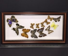 Preserved & Framed Amazonian Butterfly Display