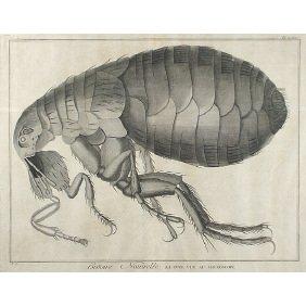 Early 17C. Natural History Micrographia Flea Print