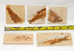 Group Of 5 Lycoptera Fish Fossils In Matrix