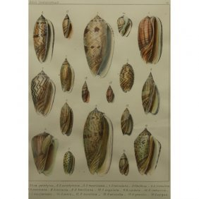 Framed Colored Engraving Of Sea Shells