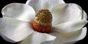 Richard Reynolds - Southern Magnolia Tree
