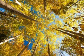 Michael Hudson. Aspens On The Canon Brook Trail