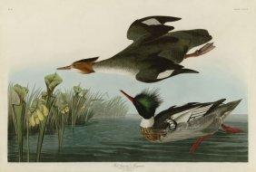 John James Audubon. Red Breasted Merganser