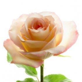 Richard Reynolds - Rose