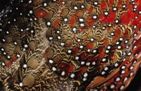 Jan Van Arkel - Ring-necked Pheasant Detail Of Back