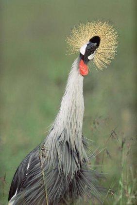 Tim Fitzharris - Grey Crowned Crane, Kenya