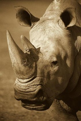 San Diego Zoo - White Rhinoceros Portrait, Native To
