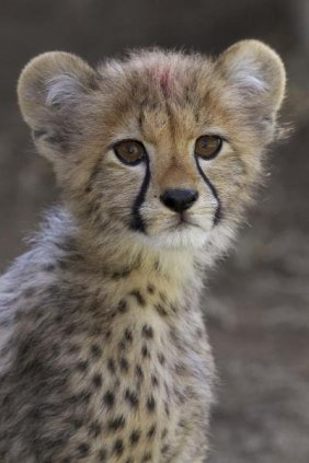 San Diego Zoo - Cheetah Cub Portrait, Native To Africa