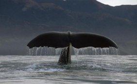 Flip Nicklin - Sperm Whale Tail, New Zealand
