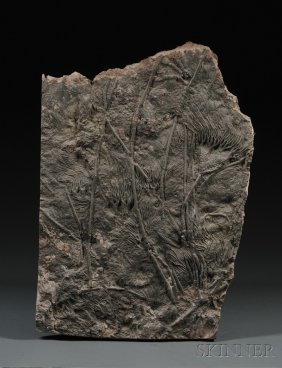 Crinoid Atlas Mountains, North Africa Upper Siluri
