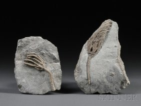Two Crinoids Dudley, England Mid-SilurianWenlock L