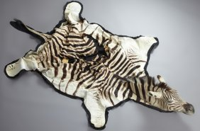 Zebra Skin, Early 20th C., With Head, H.- 88 In., W.-