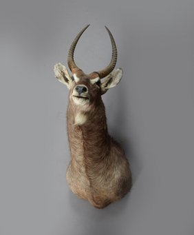 Large Taxidermied Mount Of An Eyland, H.- 32 In.,w.- 18