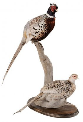 Taxidermy Table Mount Of A Male And