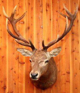 Spanish Red Deer Shoulder Mount