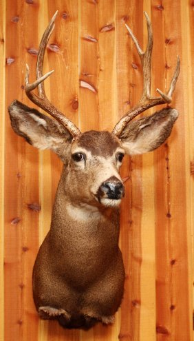 North American Mule Deer Shoulder Trophy Mount