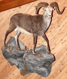 Stone Sheep Full Body Trophy Mount