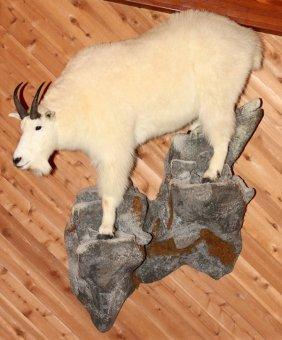 Mountain Goat Full Body Trophy Mount